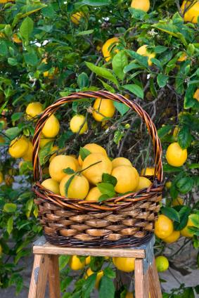 Lemon chocolate from Kakawa, chocolate tour, Sydney Australia (via Mytinerary blog Detours)